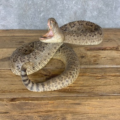 Western Diamondback Rattlesnake Mount For Sale #21423 @ The Taxidermy Store