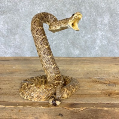 Western Diamondback Rattlesnake Mount For Sale #21766 @ The Taxidermy Store