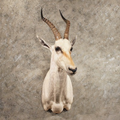 African White Blesbok Shoulder #11409 - For Sale - The Taxidermy Store