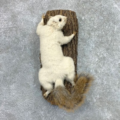 White Fox Squirrel Mount For Sale #23061 @ The Taxidermy Store