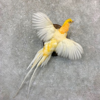 White Golden Pheasant Bird Mount For Sale #21627 @ The Taxidermy Store