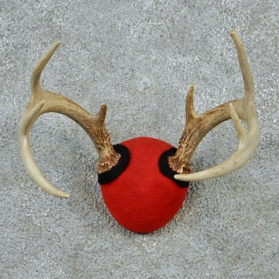 Whitetail Deer Antlers Taxidermy Mount #12879 For Sale @ The Taxidermy Store
