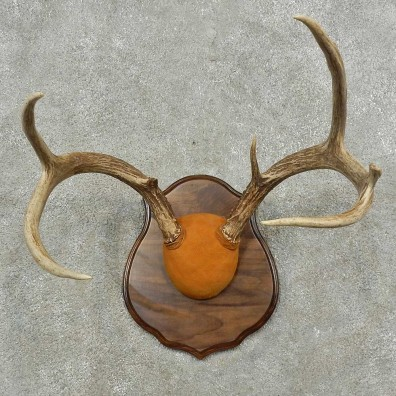 Whitetail Deer Shoulder Mount For Sale #16765 @ The Taxidermy Store
