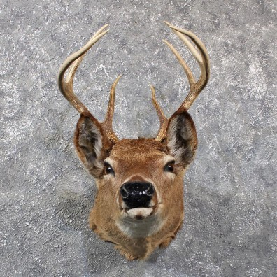Vintage Whitetail Deer Mount 11658 For The Taxidermy