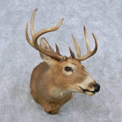Whitetail Deer Shoulder Mount For Sale #14840 @ The Taxidermy Store