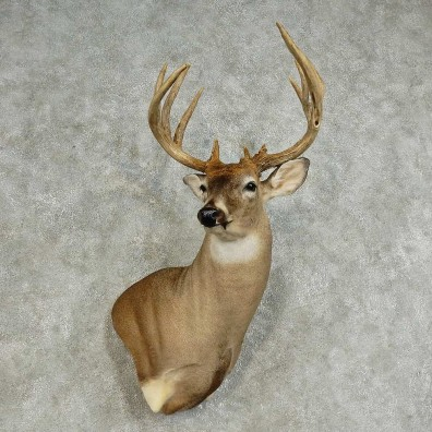 Whitetail Deer Shoulder Mount For Sale #15872 @ The Taxidermy Store