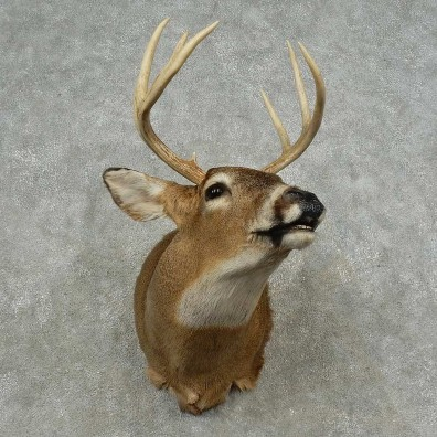 Whitetail Deer Shoulder Mount For Sale #16713 @ The Taxidermy Store