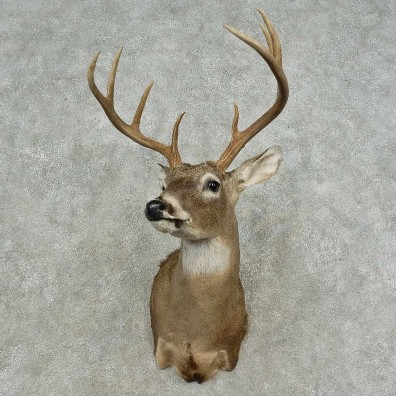 Whitetail Deer Shoulder Mount For Sale #16726 @ The Taxidermy Store