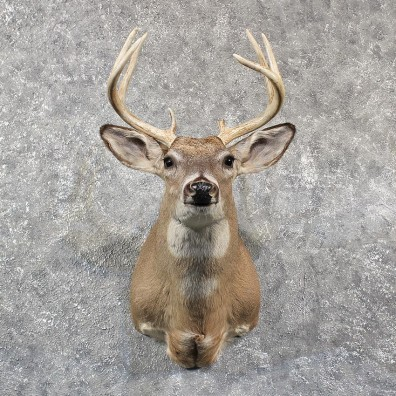 Whitetail Deer Shoulder Mount #11572 - For Sale @ The Taxidermy Store