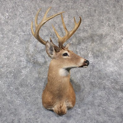 whitetail deer shoulder mount 11661 the taxidermy store. Black Bedroom Furniture Sets. Home Design Ideas