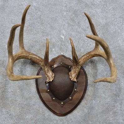 Whitetail Deer Antler Plaque Mount For Sale 15778 The