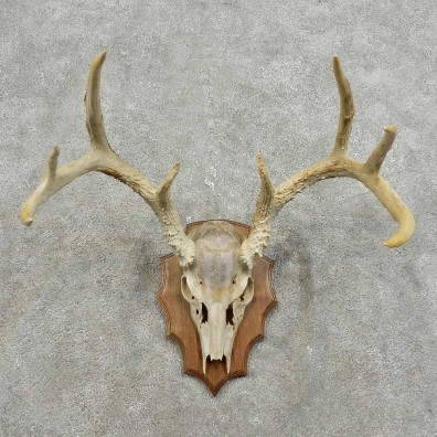 Whitetail Deer Skull European Mount For Sale #15925 @ The Taxidermy Store