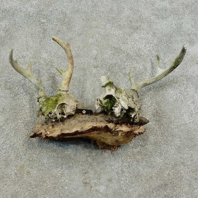 Whitetail Deer Skull & Antler Rustic Mount For Sale #16739 @ The Taxidermy Store