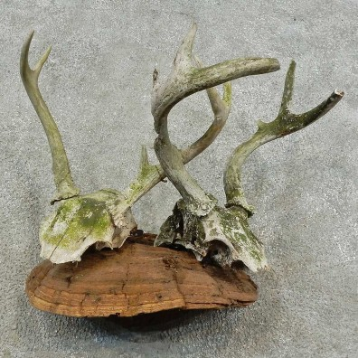 Whitetail Deer Skull & Antler Rustic Mount For Sale #16740 @ The Taxidermy Store
