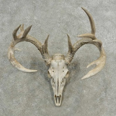 Whitetail Deer Skull European Mount For Sale #16893 @ The Taxidermy Store