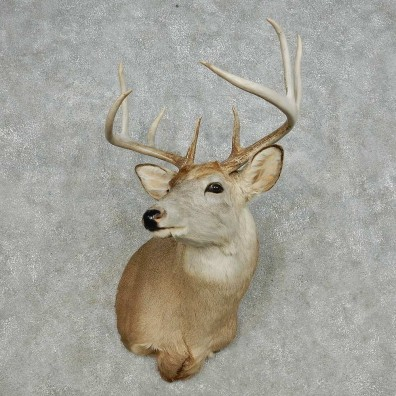 Whitetail Deer Taxidermy Shoulder Mount For Sale #14121 @ The Taxidermy Store
