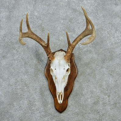 european plaque template - whitetail deer european antlers for sale 12877 the
