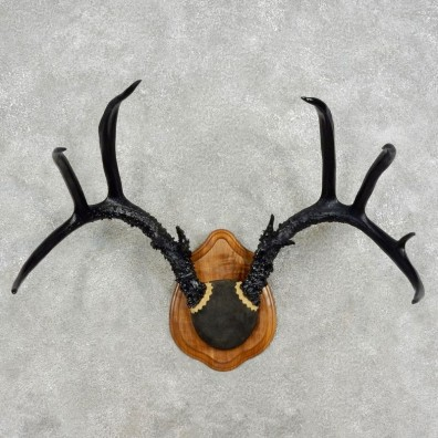 Whitetail Deer Antler Mount For Sale #17087 @ The Taxidermy Store