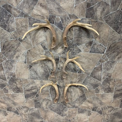 Whitetail Deer Antler Craft Pack For Sale #21822 @ The Taxidermy Store