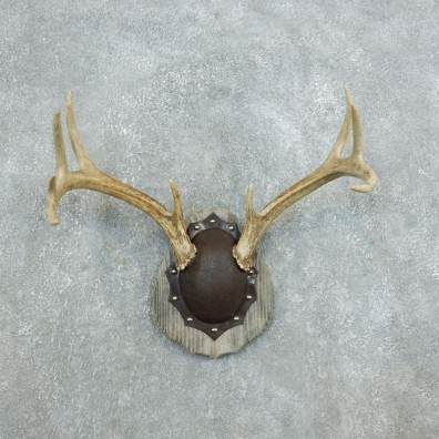 Whitetail Deer Antler Plaque Mount For Sale #18429 @ The Taxidermy Store