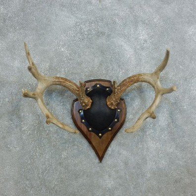 Whitetail Deer Antler Plaque Mount For Sale #18433 @ The Taxidermy Store