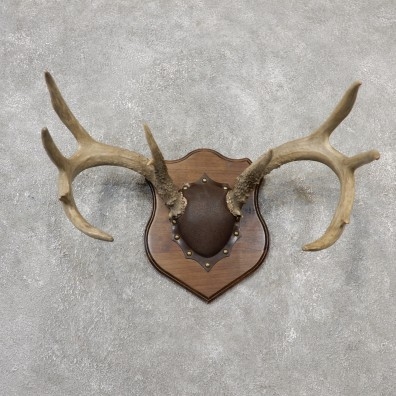Whitetail Deer Antler Plaque Mount For Sale #19114 @ The Taxidermy Store