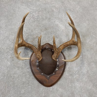 Whitetail Deer Antler Plaque Mount For Sale #19117 @ The Taxidermy Store