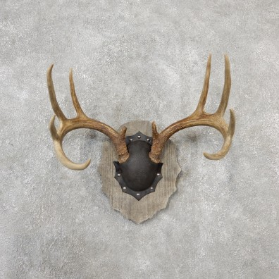 Whitetail Deer Antler Plaque Mount For Sale #19122 @ The Taxidermy Store