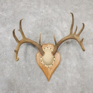 Whitetail Deer Antler Plaque Mount For Sale #19124 @ The Taxidermy Store