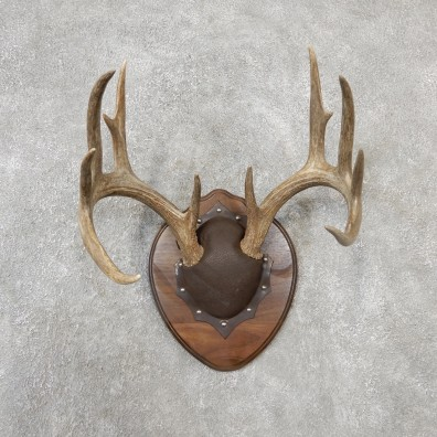 Whitetail Deer Antler Plaque Mount For Sale #19128 @ The Taxidermy Store