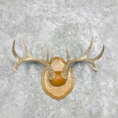 Whitetail Deer Antler Plaque Mount For Sale #22298 @ The Taxidermy Store