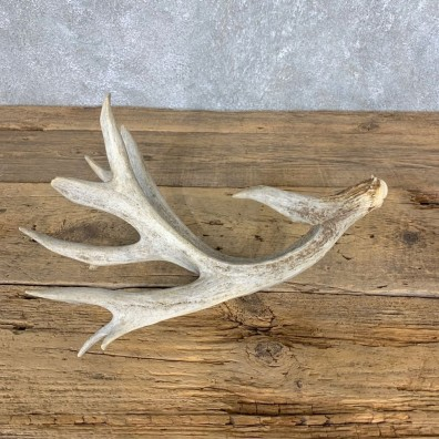 Whitetail Deer Antler Shed For Sale #21504 @ The Taxidermy Store