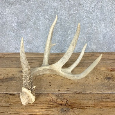 Whitetail Deer Antler Shed For Sale #21507 @ The Taxidermy Store