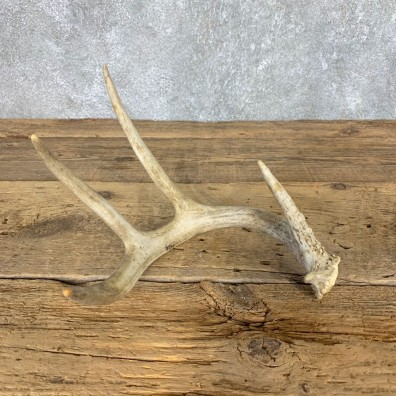 Whitetail Deer Antler Shed For Sale #21510 @ The Taxidermy Store