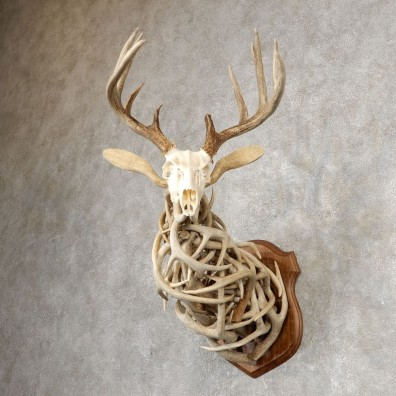 Whitetail Deer Shed Shoulder Mount #21069 For Sale - The Taxidermy Store