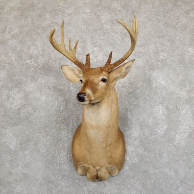 Whitetail Deer Shoulder Mount #19552 For Sale - The Taxidermy Store