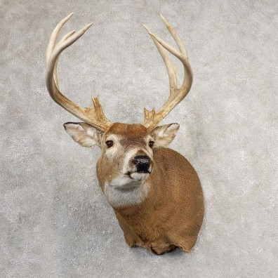 Whitetail Deer Shoulder Mount #21073 For Sale - The Taxidermy Store