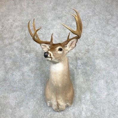 Whitetail Deer Shoulder Mount #22139 For Sale - The Taxidermy Store