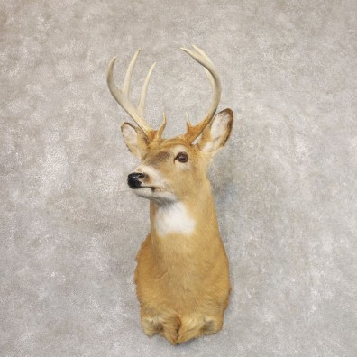 Whitetail Deer Shoulder Mount #22195 For Sale - The Taxidermy Store
