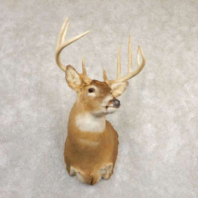 Whitetail Deer Shoulder Mount For Sale #20831 @ The Taxidermy Store