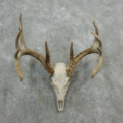 Whitetail Deer Skull European Mount For Sale #18087 @ The Taxidermy Store