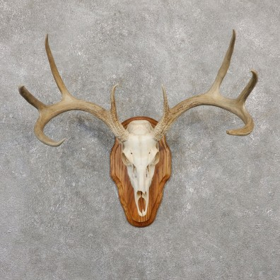 Whitetail Deer Skull European Mount For Sale #20035 @ The Taxidermy Store