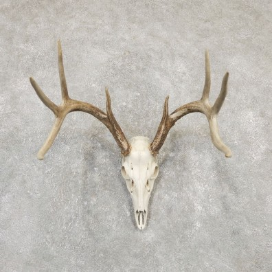 Whitetail Deer Skull European Mount For Sale #20168 @ The Taxidermy Store