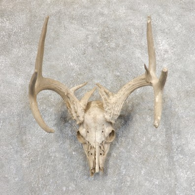 Whitetail Deer Skull European Mount For Sale #21346 @ The Taxidermy Store