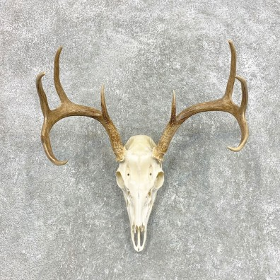 Whitetail Deer Skull European Mount For Sale #22300 @ The Taxidermy Store