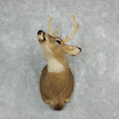 Whitetail Deer Taxidermy Shoulder Mount For Sale #17930 @ The Taxidermy Store