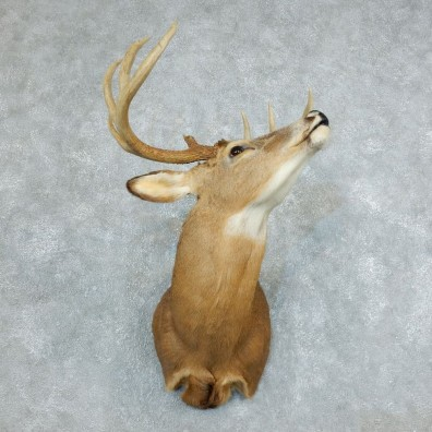 Whitetail Deer Taxidermy Shoulder Mount For Sale #18506 @ The Taxidermy Store