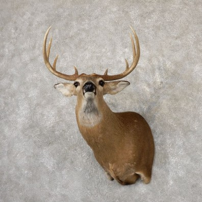 Whitetail Deer Taxidermy Shoulder Mount For Sale #18860 @ The Taxidermy Store