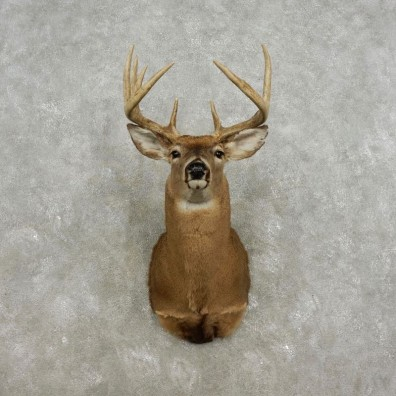 Whitetail Deer Shoulder Mount For Sale #17323 @ The Taxidermy Store