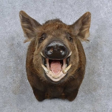 wild boar shoulder mount for sale 15688 the taxidermy store